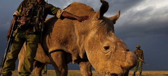 1714. Last Male Northern White Rhino Now Under Armed Guard