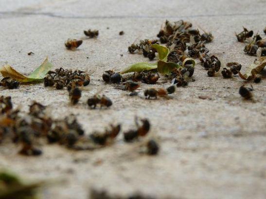 1775. Encuentran 37 millones de abejas muertas tras plantar maíz transgénico