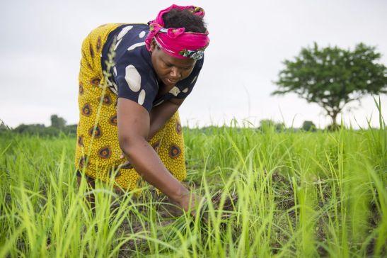 Women weeding in the Mbingu Mission Rice field. Nishola Tungu (model release signed).